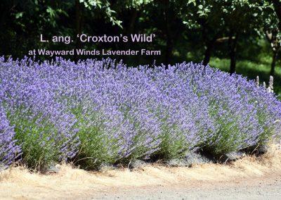 Croxton's Wild